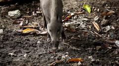 Wild Boar Digging in Mud, Wild Pig, Sus scrofa, Suidae, Forest  Stock Footage