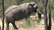 Stock Video Footage of Elephant eating from tree
