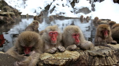 Group of Japanese Macaques monkeys, Jigokudani nature reserve, Chubu, Japan - stock footage