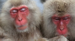 Pair of Japanese Macaques monkeys, Jigokudani nature reserve, Chubu, Japan Stock Footage