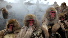 Japanese Macaques monkeys, Jigokudani nature reserve, Chubu, Japan, Asia  Stock Footage