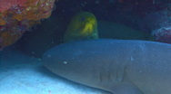 Nurse shark and green moray eel under cave Stock Footage