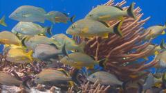 School of fish bluestripped grunt Stock Footage