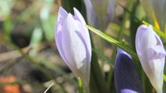 Flowering Crocus flowers during spring Stock Footage