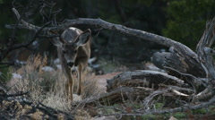 Deer Forages  Stock Footage