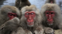 Three Japanese Macaques monkeys, Jigokudani nature reserve, Chubu, Japan, Asia Stock Footage