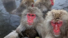 Family of Japanese Macaques monkeys, Chubu, Japan, Asia - stock footage