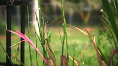 Anole lizard Stock Footage