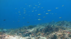 School of fish over weedy coral reef Stock Footage