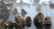 Stock Video Footage of Group of Japanese Macaques monkeys, Jigokudani nature reserve, Chubu, Japan
