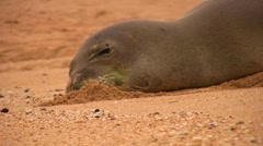 Monk Seal buries its muzzle in the sand Stock Footage