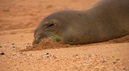 Stock Video Footage of Monk Seal buries its muzzle in the sand