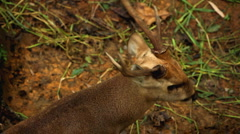 Stock Video Footage of Deer (Cervidae), Bambi, Ruminant Mammals, Eating, Relaxing in the Forest, Wild