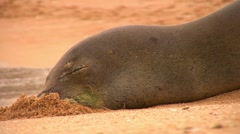 Closeup of sleeping Hawaiian Monk Seal - stock footage
