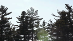 Tops of pine trees Northeast - stock footage