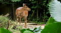 Deer (Cervidae), Bambi, Ruminant Mammals, Eating, Relaxing in the Forest, Wild Footage