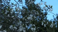 Stock Video Footage of Cherry blossom