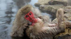 Japanese Macaques monkeys, Jigokudani nature reserve, Chubu, Japan, Asia - stock footage