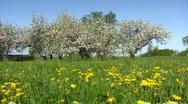 Apple blossom garden Stock Footage
