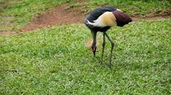 African Grey Crowned Crane (Balearica Regulorum), Bird In Crane Family Gruidae Stock Footage