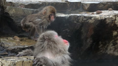 Adult and baby Japanese Macaques monkeys, Chubu, Japan, Asia - stock footage