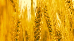 Wheat Crops Bread Flour Bakery agriculture Stock Footage