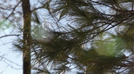 Pine branches in wind 2 Stock Footage