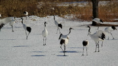 Red crowned Cranes in the snow, Hokkaido, Japan, Asia  Stock Footage
