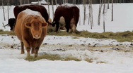 Cows grazing in snow Stock Footage
