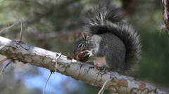 Squirrel Chews Pine Cone - stock footage