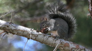 Stock Video Footage of Squirrel Chews Pine Cone