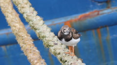 Ruddy Turnstone on boat rope Stock Footage