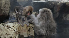 Adult and baby Japanese Macaques monkeys, Chubu, Japan, Asia Stock Footage