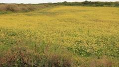 Field of Yellow Flowers (HD) co Stock Footage