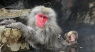 Stock Video Footage of Adult and baby Japanese Macaques monkeys, Chubu, Japan, Asia