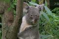 Koala Bear Climbing 02 Footage