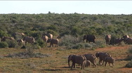 Stock Video Footage of Group of Elephants