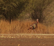 Turkeys Strutting Wide Stock Footage