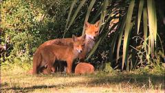 Urban Fox and Cubs Stock Footage