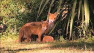 Stock Video Footage of Foxes & Mum R100