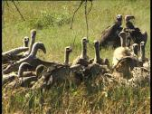 Vultures Stock Footage