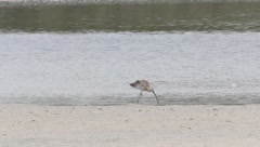 Eurasian Curlew Stock Footage