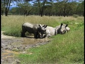 Stock Video Footage of Rhinos Mud Bath