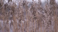 Stock Video Footage of reeds in wind