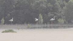 Flamingo Stock Footage