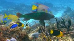 Rainbow parrotfish Stock Footage