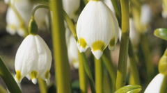 Spring flowers Snowdrop, Galanthus  Stock Footage