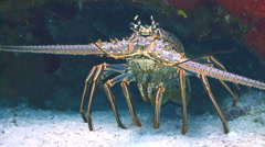 Spiny lobster coral reef Stock Footage