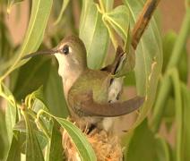 Hummingbird building nest 1 Stock Footage