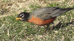 Stock Video Footage of Robin getting a Worm